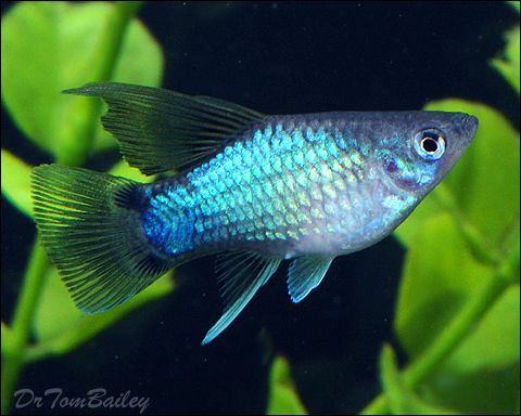 Young female hifin blue mickey mouse platy at aquariumfish for Freshwater tropical fish online