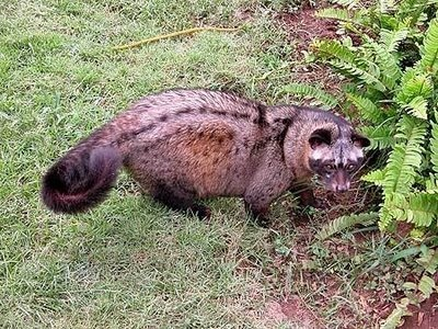 Sumatra Luwak or Civet cat, coffee is made from their pooped out beans