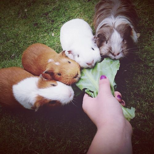 Salat is all guinea pigs want
