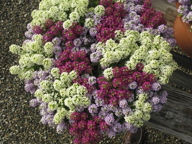 plante plein soleil Alyssum- un sous-arbisseau à fleurs blanches ou violettes
