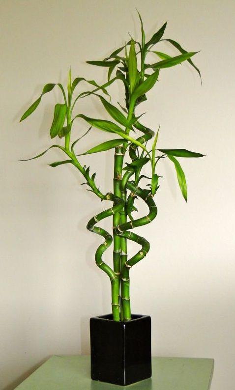 bambus w doniczce pielęgnacja - Szukaj w Google