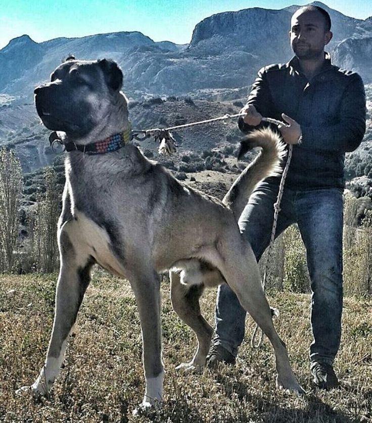 #kangal #dog #dogs #kopek #köpek #kangaldog #sivas #kangalkopegi #sivaskangali #dogstram #pet #anatolianshepherd #instadog #dogsofinstagram #pets #petstagram #animal #animals #ilovemydog #dogoftheday #lovedogs