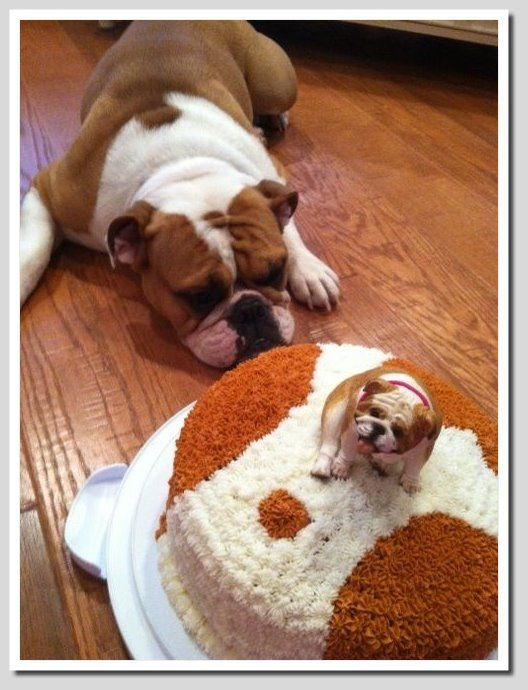 Bulldog not sure what to make of it's birthday cake