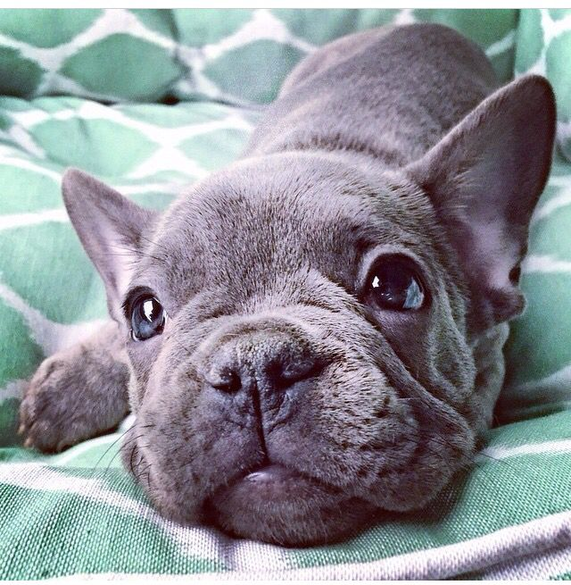 Adorable blue French Bulldog puppy