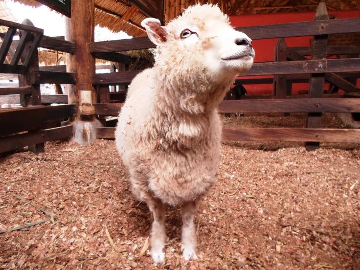 Hay más de 200 razas de ganado ovino en el mundo