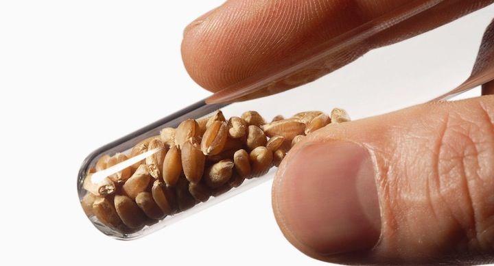 Semillas Transgenicas - de búsqueda