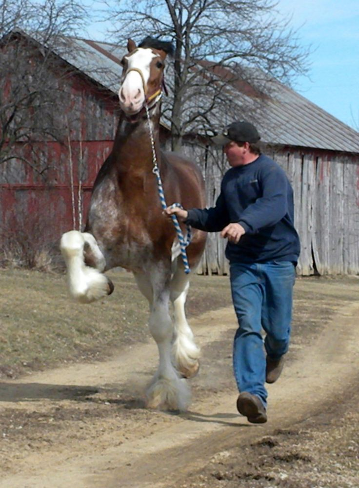 colorful pictures of draught horses   World Draft Horse Network : Draft Horse Classified Ads