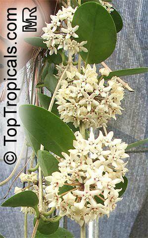 Hoya australis, australianposliinikukka, australisk porslinblomma