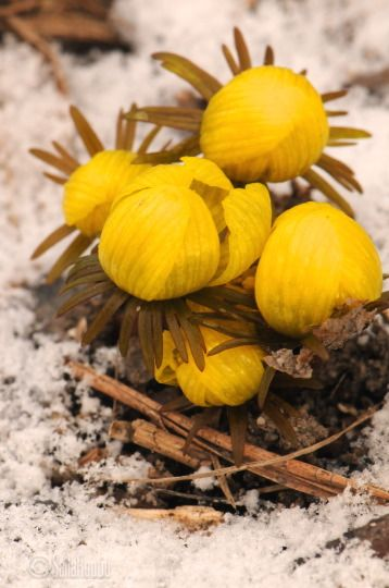 Eranthis cilicica. Photo Saila Routio