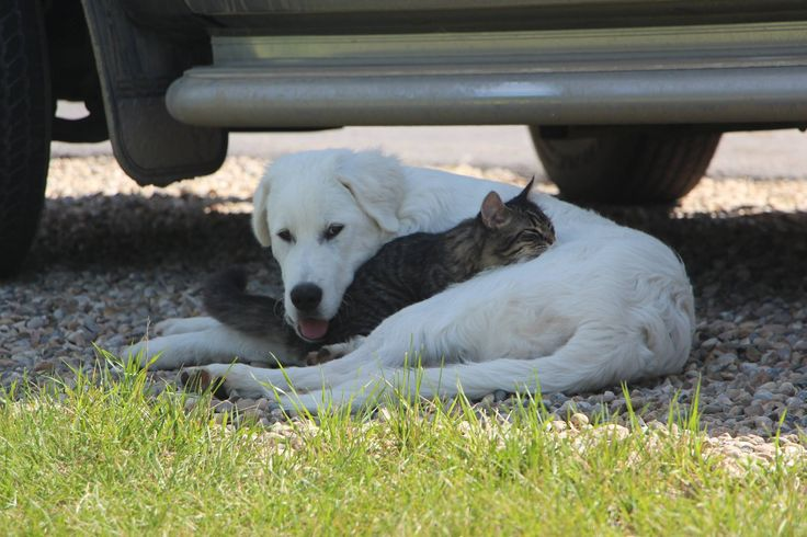 Zack (dog) And Boots (cat) Akbash/ Pyrenees | Pawshake Calgary