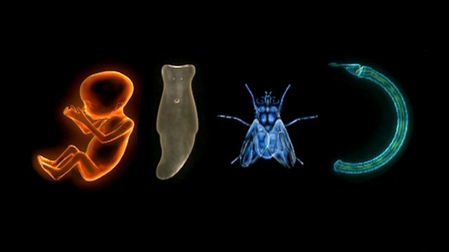 All the cells in all animals have a complete set of genes with the instructions for building an organism. Working with mutations in fruit flies, scientists have found a group of regulatory genes called Hox genes that signal other genes in sequence to build the body of an animal. All animals except sponges have Hox genes.