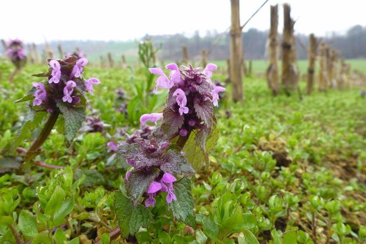 Falsa ortica(Lamium Purpureum)