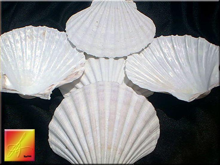 Set of 12 White Irish Baking Scallops Natural Seashells Restaurant Quality #FloridaShellsandGifts