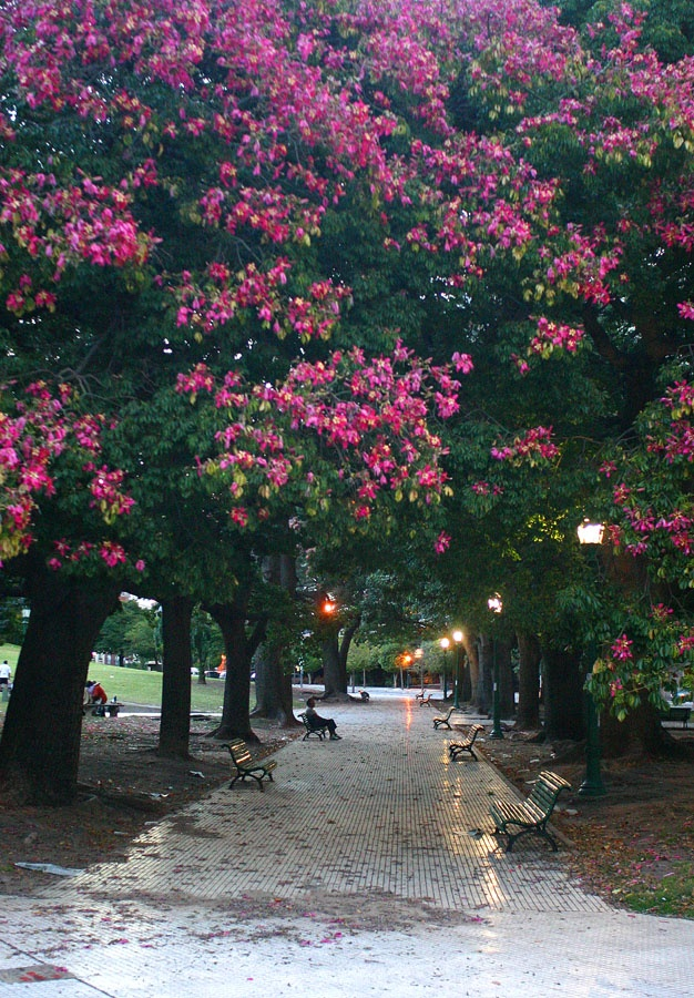 """When the """"Palo Barracho"""" are in bloom in Buenos Aires"""