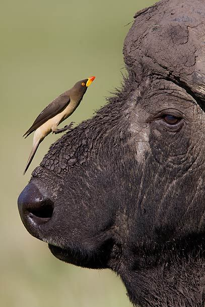 oxpecker and buffalo relationship information