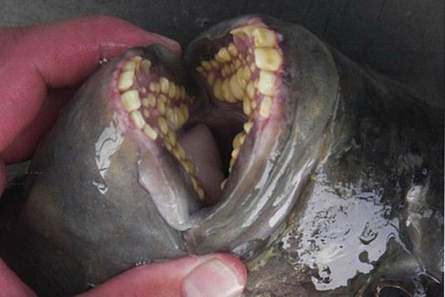 5 obnoxiously terrifying sea animal mouths 7 pictures for Freshwater fish with teeth