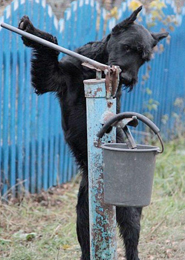 Lemon, un perro Schnauzer gigante al que le encanta ayudar a su familiar en una granja de Rusia  http://www.schnauzi.com/lemon-perro-schnauzer-gigante-ayuda-familiar-granja-rusia/