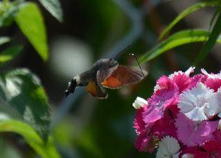 Taubenschwänzchen, Hummingbird Hawk-moth, Kolibri Hawk-lepke