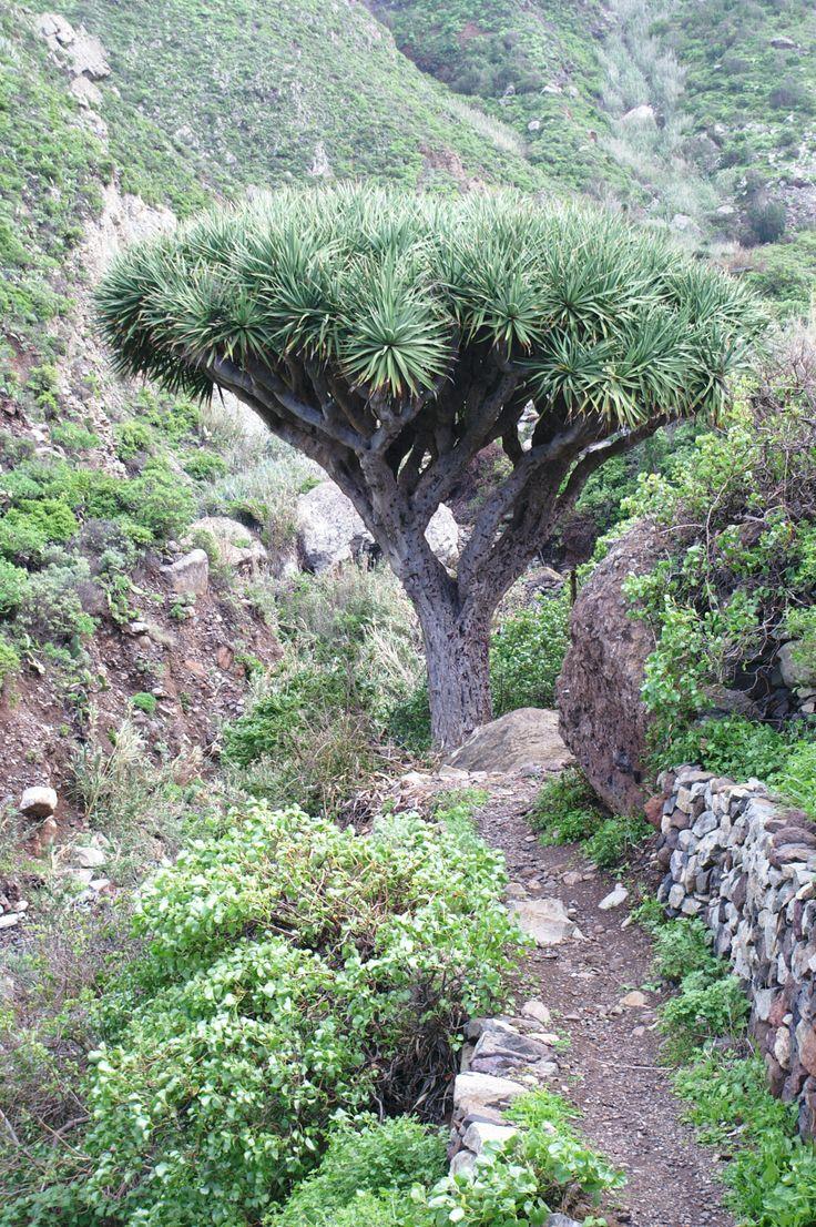 Dragon tree (Dracaena draco)