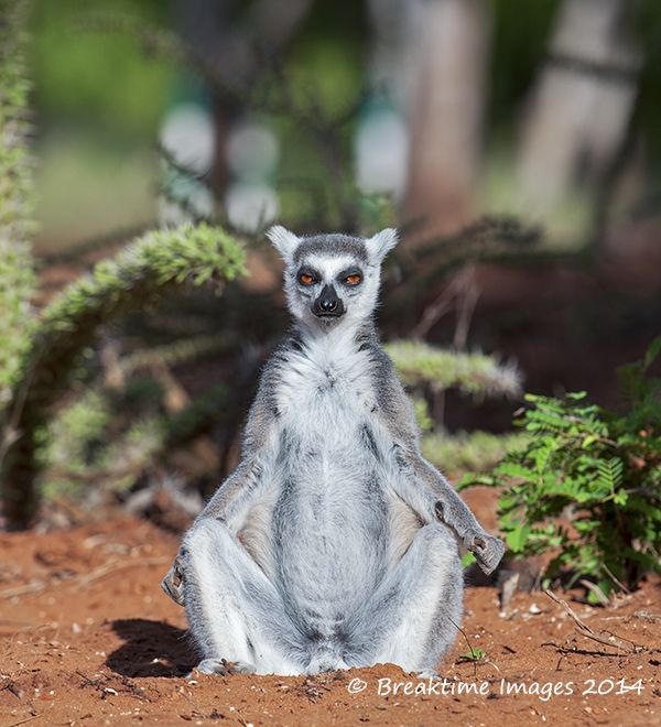 Anyone for yoga? The ring-tailed #lemur is listed as Endangered (EN) on the IUCN Red List.