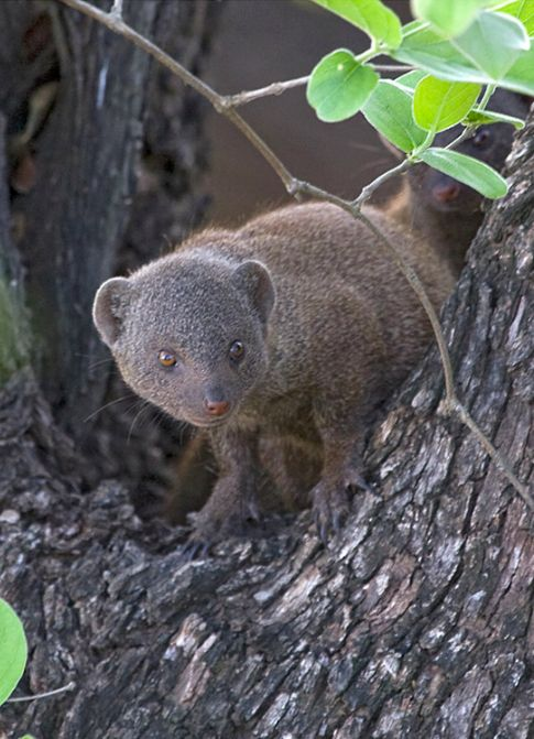 Dwarf Mongoose by Robert Wienand