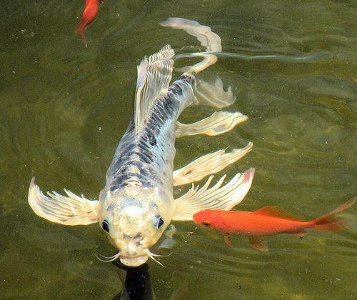 Blue  Platium Butterfly Koi  a goldfish