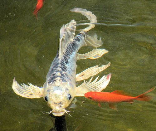 65 best images about pond maintenance and beautification for Baby butterfly koi