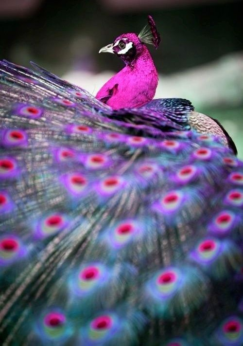 The male peacock's tail feathers are so heavy that just carrying them around, nonetheless strutting about with them, demonstrates its fitness as a mate -- superfluous strength.