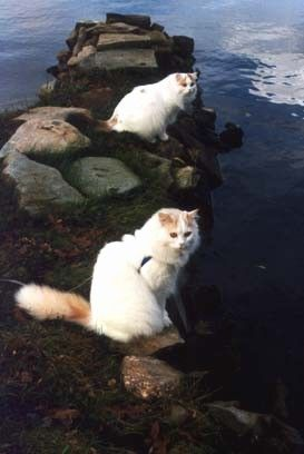 Turkish Van Cat.  This breed likes water and swims!