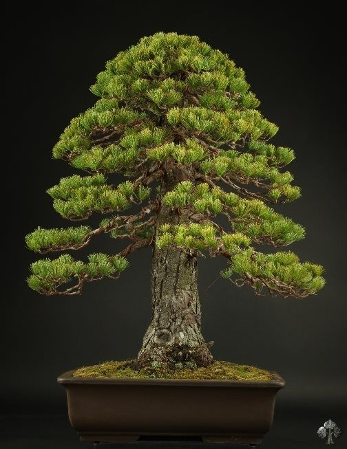 Goyomatsu pine Bonsai in Chokkan style. #bonsai    By: Michael Bonsai  See: www.bonsaiempire.com/bonsaioftheday