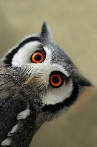 Owl, great eyes