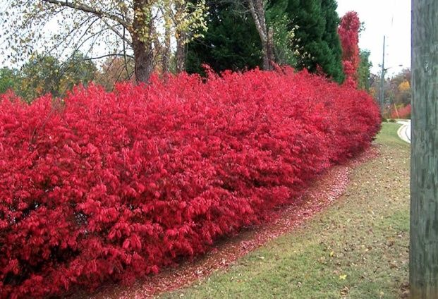 The Burning Bush is a highly adaptable and maintenance free shrub that has a red fall foliage. Learn how to plant and how to prune the burning bush