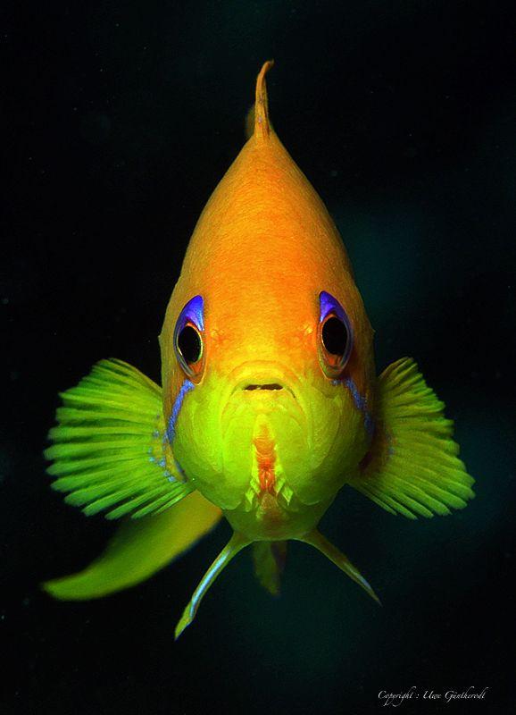 Fahnenbarsch Foto & Bild | Natur, Unterwasser, UW-Salzwasser Bilder auf fotocommunity