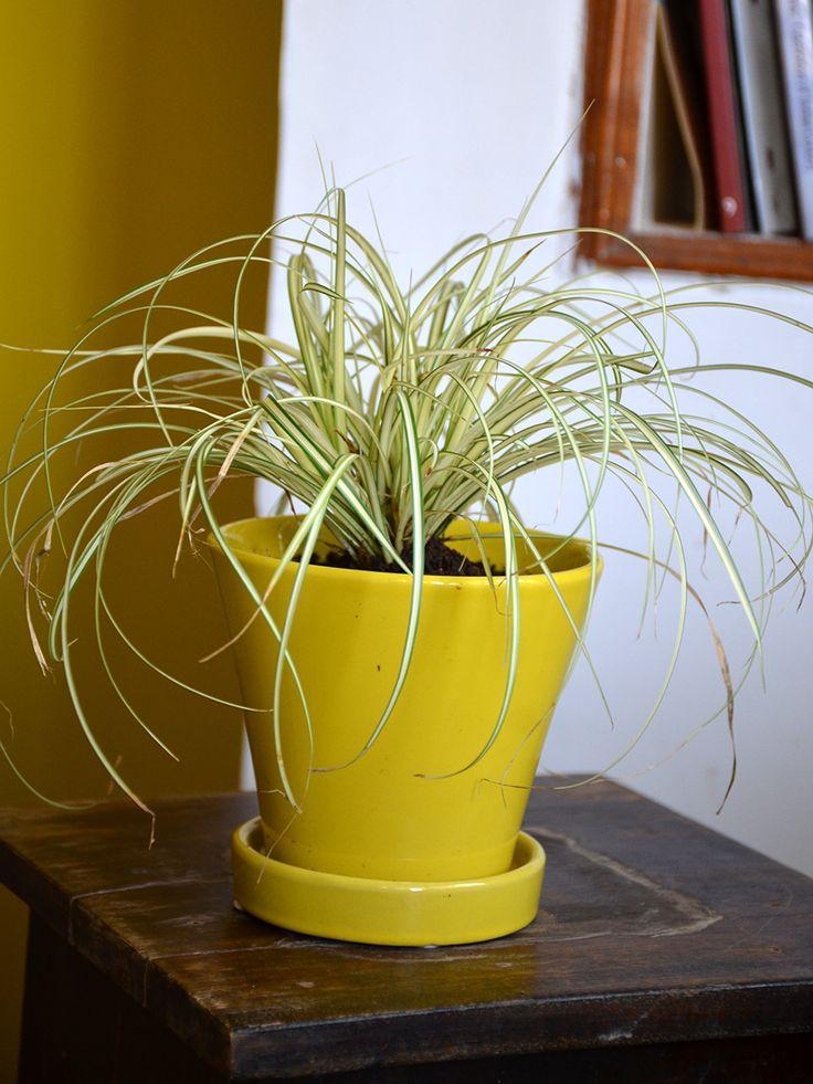 Buy Sedge Yellow (Carex) • Yellow