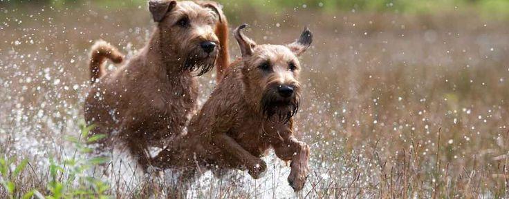 Der Irish Terrier - Schweizer Hunde Magazin