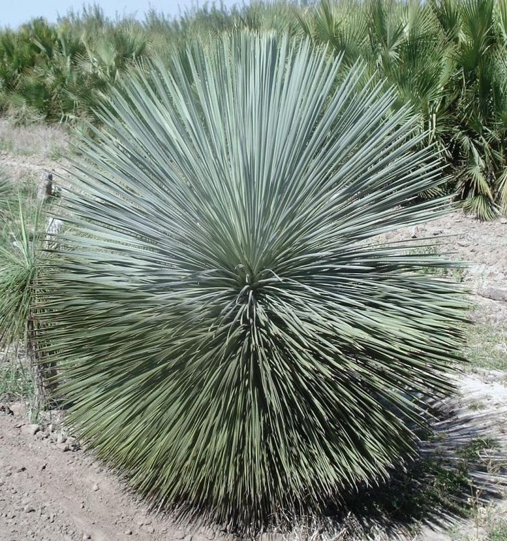 17 best ideas about yucca rostrata on pinterest yucca. Black Bedroom Furniture Sets. Home Design Ideas