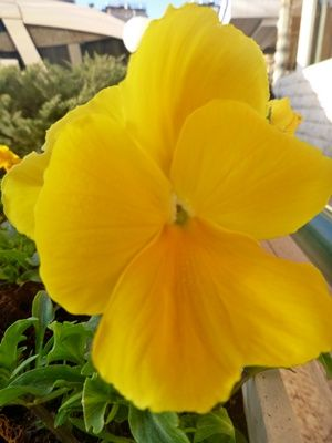 Bunga Pansy Kuning