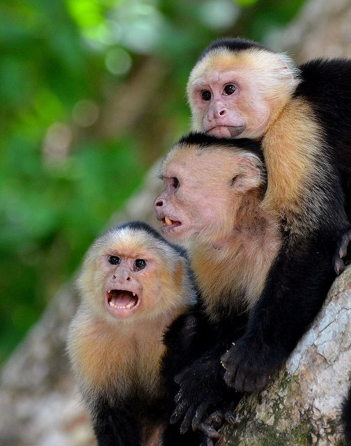 White Faced Capuchins, Costa Rica.  The only time we got in trouble with the law...
