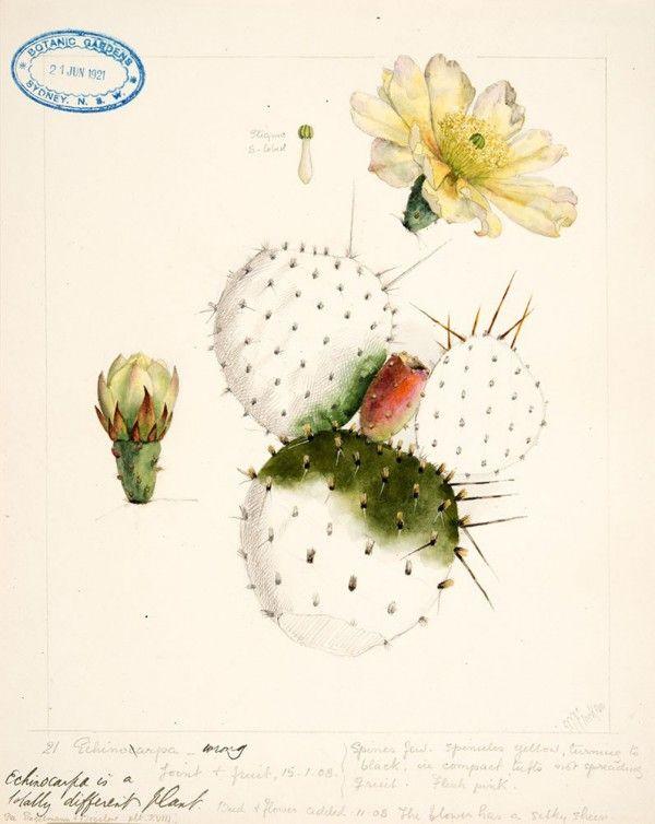 Coleção do aniversário de Sydney da coleção 200 do jardim botânico real de cópias botânicas da edição limitada