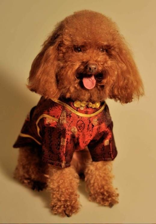 Chinese Han Pet Dog Dress Cheongsam - Dog Clothes, Small Dog Clothing, Dog Accessories - FREE SHIPPING WORLDWIDE