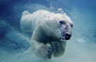 Court: Polar bear habitat that interferes with oil drilling has to go