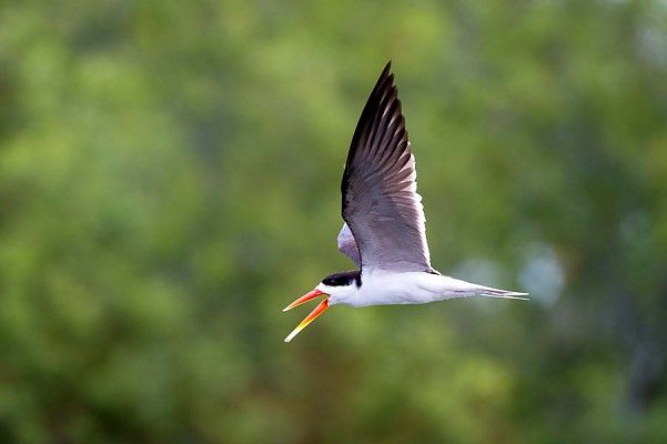 The African Skimmer - symbol of pristine wilderness (and why we chose it to represent our ecotourism philosophy)