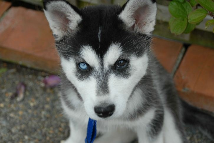 This husky puppy sees both good and evil! | Husky Dogs ...