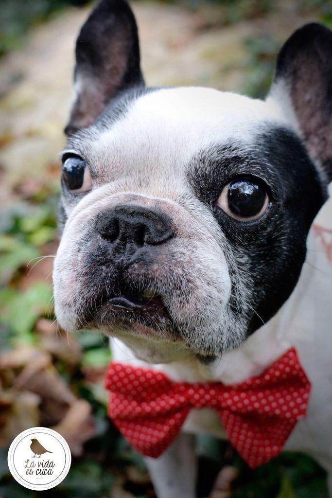 Fotos perros con pajarita La vida es cuca