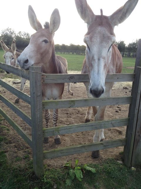 Donkey Sanctuary, Huttoft - A Zorse or a Zonkey? cannot remember which way around, but they are one or the other!