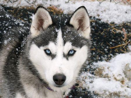 husky in the snow