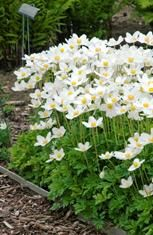 (Snowdrop Windflower)   Great companion plant for hostas and for naturalizing a shade garden. Late spring flowers are pure white with a slig...