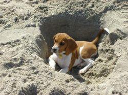 Beagle at the beach