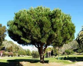 Características de los pinos piñoneros y cómo sembrar piñones - https://www.jardineriaon.com/pino-pinonero.html #plantas