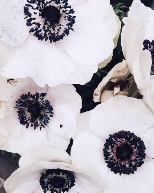 Anemones always
